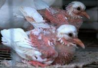 鴿子的公母怎麼辨別?