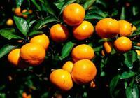 柑橘不甜,要如何才能促使柑橘變甜?