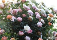 養月季花的人,這些垃圾不要扔,做成花肥,月季吃了開不停!