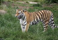 老虎種類大百科