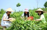 """湖北通城:返鄉創業青年荒山種成""""銀山"""""""