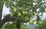 梨子的種植技術