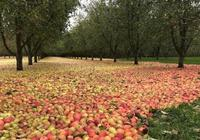 假如蘋果有愛情