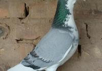 信鴿飼料的配方推薦