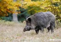在農村的老人說吃過毒蛇的野豬價值高,如何看出來野豬有沒有吃過毒蛇呢?