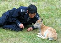人與自然的和諧多美好,記世界上唯一一隻人工飼養的藏羚羊