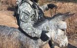 美軍的制式裝備,毛驢