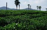 圖蟲攝影:西湖龍井茶園一