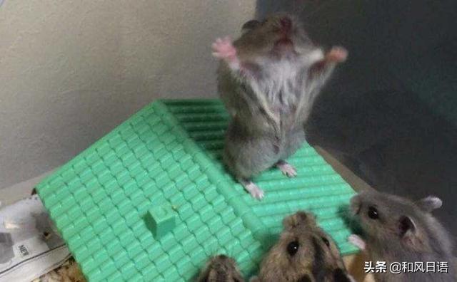 隨手給倉鼠拍了張照,日本網友看到後笑翻了!