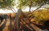 不看胡楊,怎知青海秋的顏色,世界上海拔最高的胡楊林