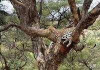 一隻在樹上打盹的豹子