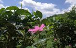 茶園中的格桑花悄然盛開