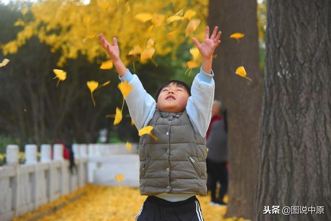 """鄭州:人民公園銀杏樹葉鋪成""""黃金大道""""吸引眾多市民欣賞拍照"""