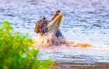 動物世界:鱷魚碰見美洲豹,就變成了渣?