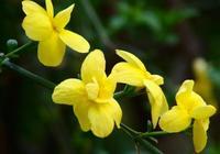 如何養殖盆栽迎春花?