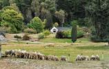 尼古拉斯牧場的美利諾羊群