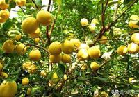 很多農民想通過種植檸檬發家致富,但並不會種植,這裡有方法