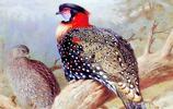 阿奇博爾德·桑本鳥類插畫作品