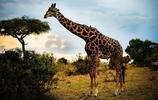 動物圖集:野生長頸鹿