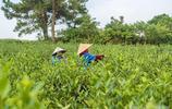 全國最美的茶園之一,與西津湖為鄰成周末度假區