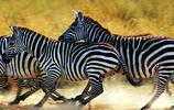 奔跑的斑馬