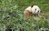 罕見膚色的大熊貓——全白大熊貓,網友:就等彩色大熊貓了!