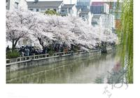 人間四月天,櫻花戀上虞城