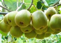 你們喜歡吃眉縣獼猴桃嗎?