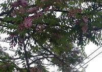 紫色的槐花能吃嗎?是不是和我們普通的槐花一樣?