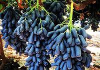 新品種藍寶石葡萄