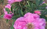 平陰玫瑰甲天下,五月份的玫瑰小鎮,連空氣都帶著香味兒