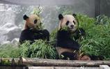 大熊貓毛竹和珍多 黃白雙熊 傻氣