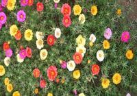 養花技巧:老花匠一分鐘教會你,如何種植太陽花!