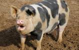 農夫醉酒與豬搏鬥,結果讓農夫後悔不已