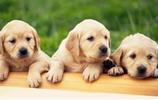 智商最高的十大狗狗排名你知道嗎