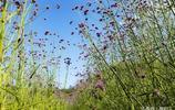 風光攝影:看了福州花海的馬鞍草不過癮的朋友還可以到貴安花海看