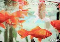 想養金魚?新手飼養的金魚的七個小技巧
