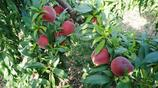 6月的桃子熟了,樹上掛了桃子,大家看看桃林美不美麗?