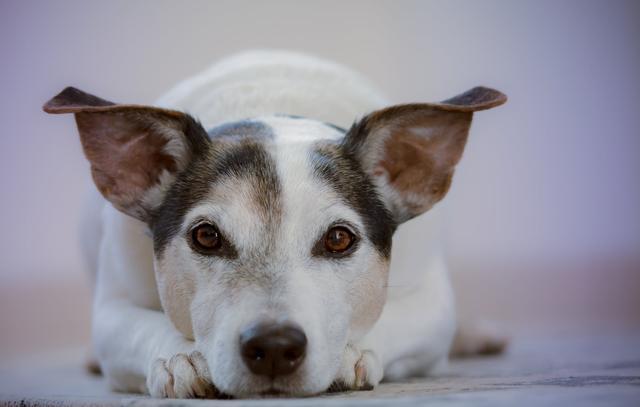 狗狗碰水後要洗耳,怎麼洗才對?看這一篇就夠了!