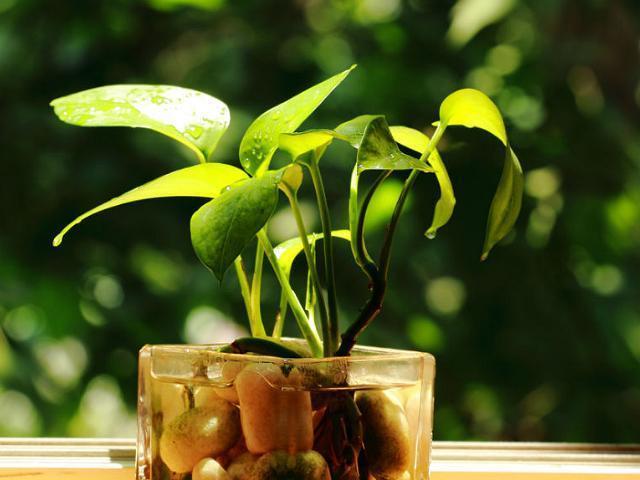 關於綠蘿:如何大面積養殖綠蘿?