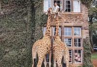 在上世紀的長頸鹿莊園,與長頸鹿來一場甜蜜約會吧!