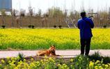 渭河岸邊的油菜花開了