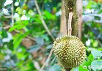 我家種菠蘿蜜已經很多年了,可以種榴蓮嗎?