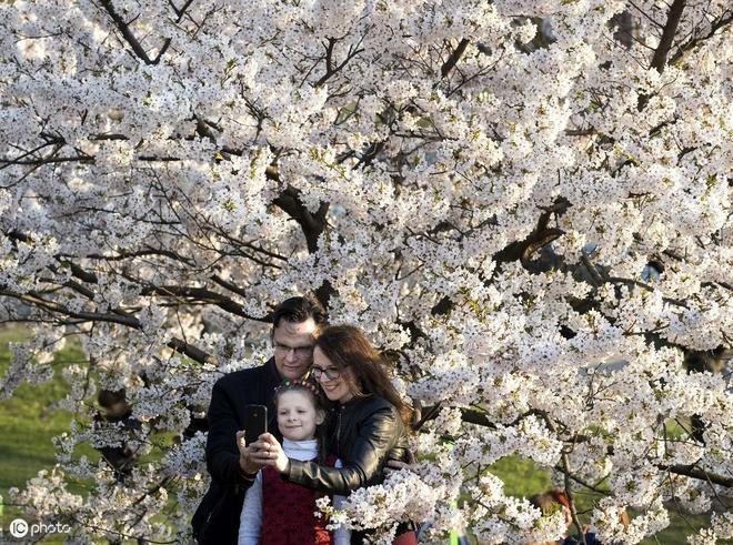 立陶宛櫻花公園白色櫻花盛開,眾多遊客紛紛前來賞花