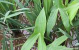 曾經稻田裡的害人草,現在很多農民靠它發家致富