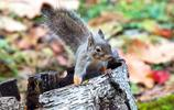 松鼠:日本松鼠,是齧齒目松鼠科松鼠屬下的一個品種
