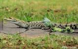 原以為青蛙會默默從鱷魚身邊逃開,幾分鐘後的畫面讓人笑了