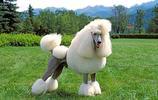 寵物圖集:貴賓犬