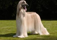 世界最高貴的犬種,可任性出入五星級酒店,不算笨的阿富汗獵犬