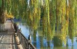 在水邊或小路兩旁的柳樹
